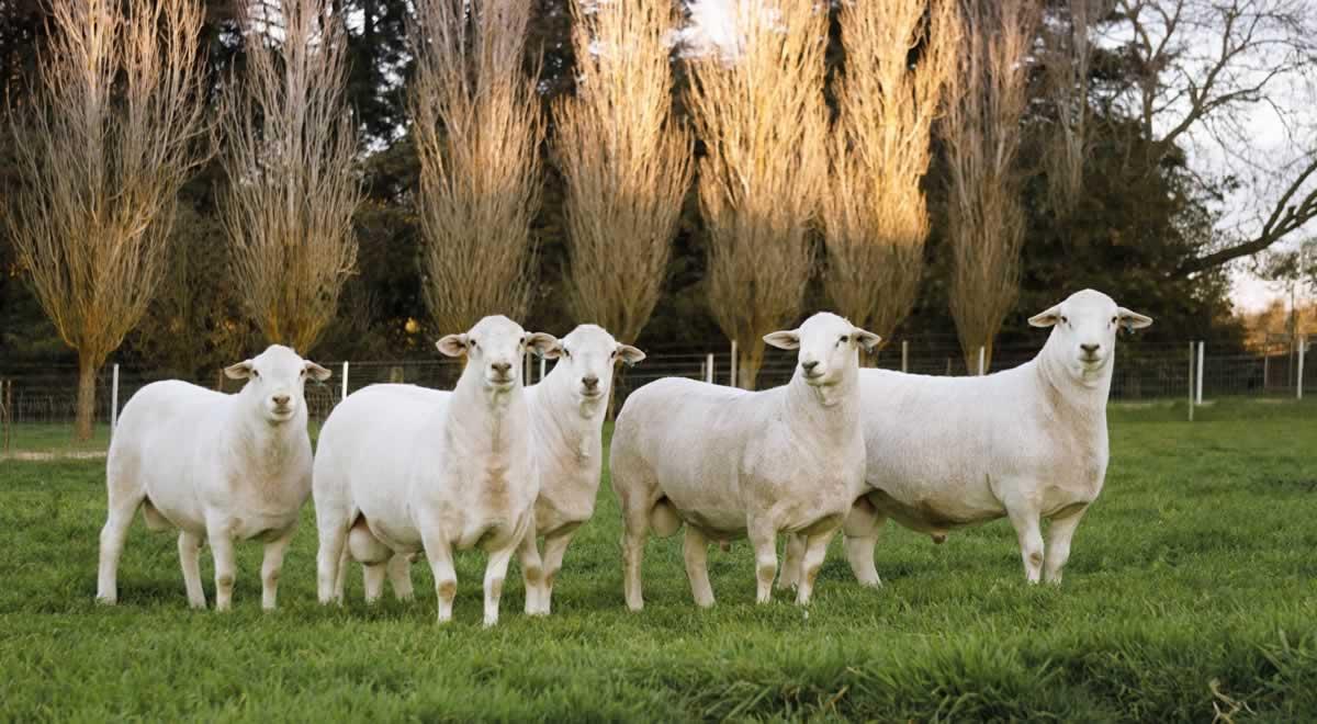Australian White Rams