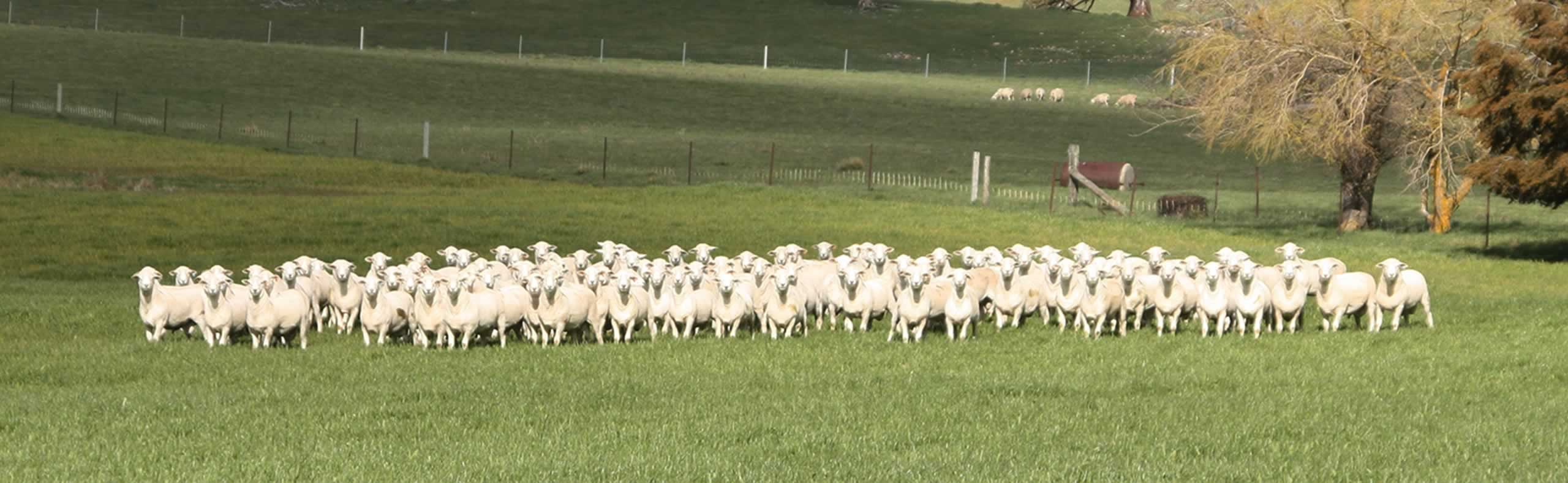 An Australian White Flock
